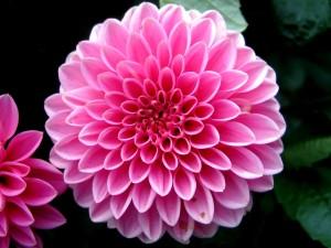 dahlia flower 2